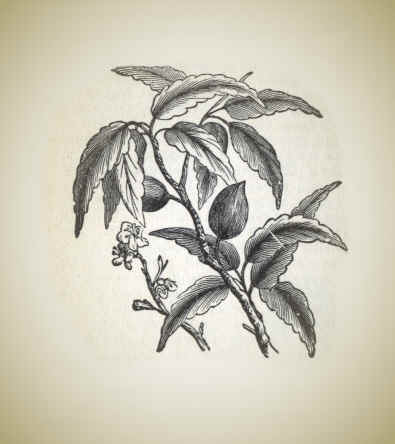 Almond.jpg (16323 bytes)