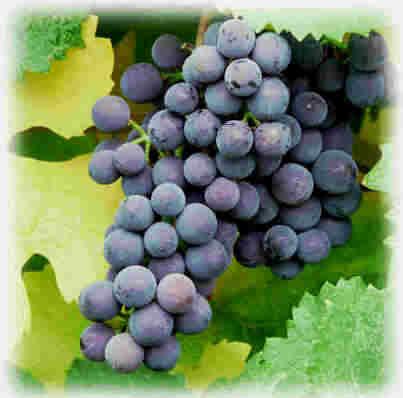 Grapes2.jpg (22122 bytes)