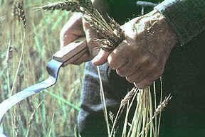 Harvest1.jpg (11112 bytes)