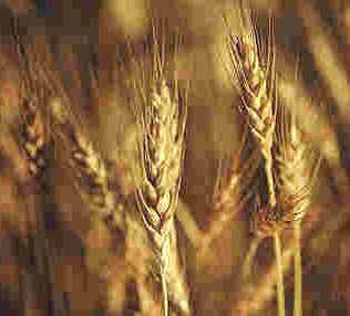 Wheat2.jpg (11542 bytes)